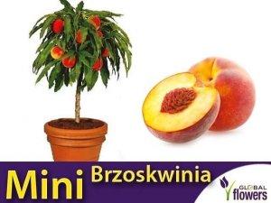 DRZEWKO OWOCOWE Mini Brzoskwinia (Persica) Sadzonka C6