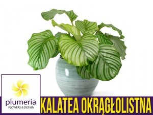Kalatea okrągłolistna (Calathea orbifolia) Roślina domowa. Sadzonka P7 - S