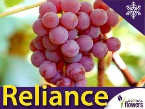 Winorośl RELIANCE odmiana deserowa bezpestkowa (Vitis) Sadzonka C2