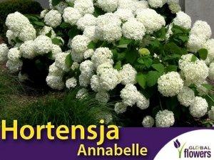 Hortensja Drzewiasta 'Annabelle' (Hydrangea arborescens) sadzonka