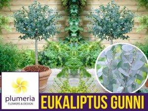 Eukaliptus Niebieski na pniu kula (Eukaliptus Gunni) 4 letnia Sadzonka C4