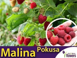Malina właściwa POKUSA® (Rubus idaeus) Sadzonka C2