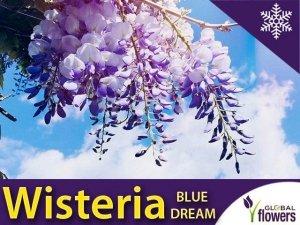 Wisteria Glicynia kwiecista 'Blue Dream' (Wisteria floribunda) Sadzonka 60-90cm