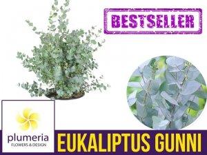 Eukaliptus Niebieski (Eukaliptus Gunni) 3 letnia Sadzonka C2