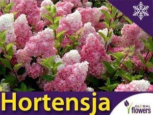 Hortensja Bukietowa 'Vanille-Fraise ®' Sadzonka XL-C5 szczepiona na pniu 80-100cm