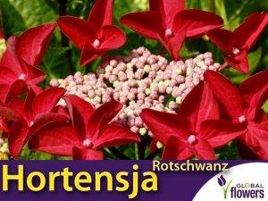 Hortensja ogrodowa ROTZSCHWARNZ (Hydrangea macrophylla) Sadzonka C1