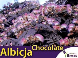 UNIKAT ! Albicja 'Summer Chocolate' (Albizia) Sadzonka