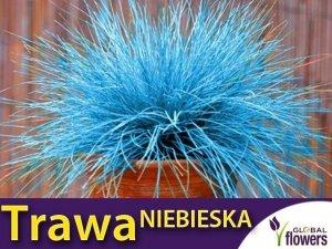Niebieska Trawa Kostrzewa Sina (Festuca glauca) 200 nasion