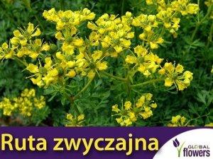 Ruta zwyczajna (Ruta graveolens) Sadzonka C1