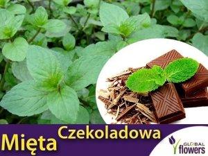 Mięta Czekoladowa (Mentha x piperita Chocolate) Sadzonka