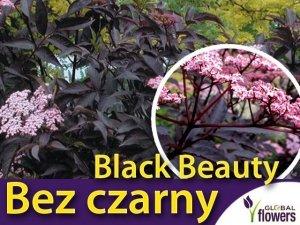 Bez czarny 'Black Beauty' (Sambucus nigra) Sadzonka