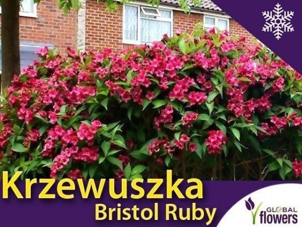 Krzewuszka Bristol Ruby Sadzonka