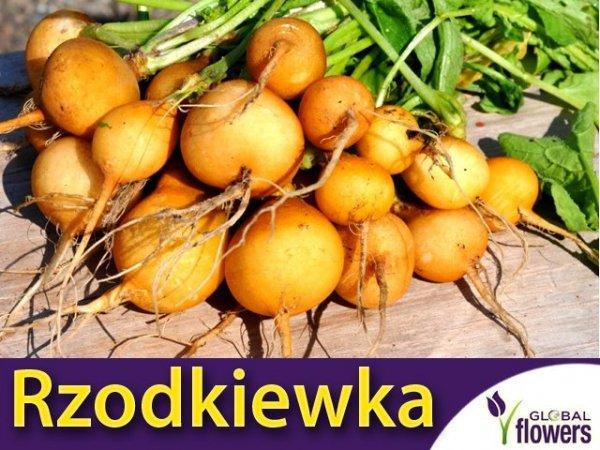 Rzodkiewka Zlata (Raphanus sativus)