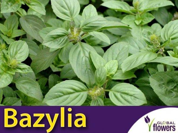 Bazylia (Ocimum basilicum) Sadzonka