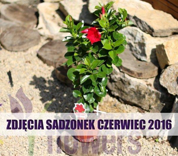 pnącze, Czerwone kwiaty, Classic Red