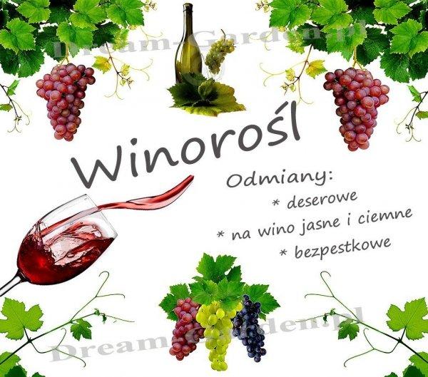 winorośl bezpestkowa sadzenie, odmiany, uprawa