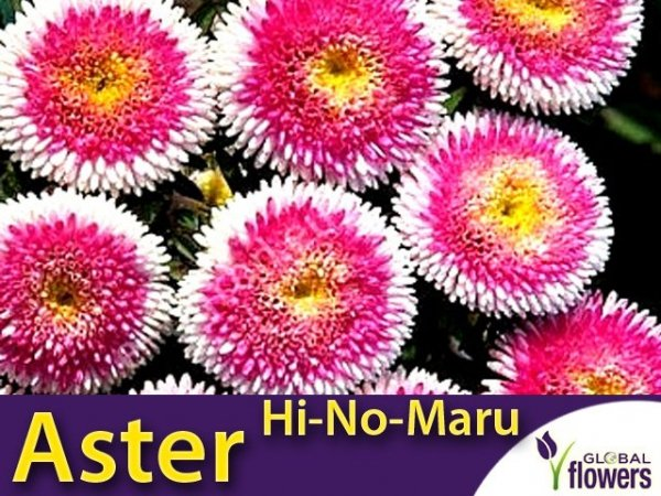 Aster Chiński Liliput Moonshine Hi-No-Maru
