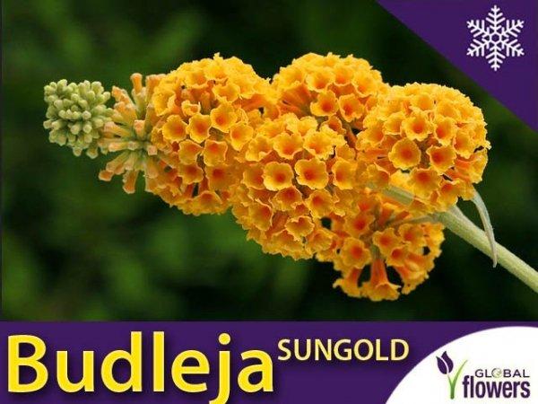 Budleja 'Sungold' (Buddleja wayeriana) Sadzonka