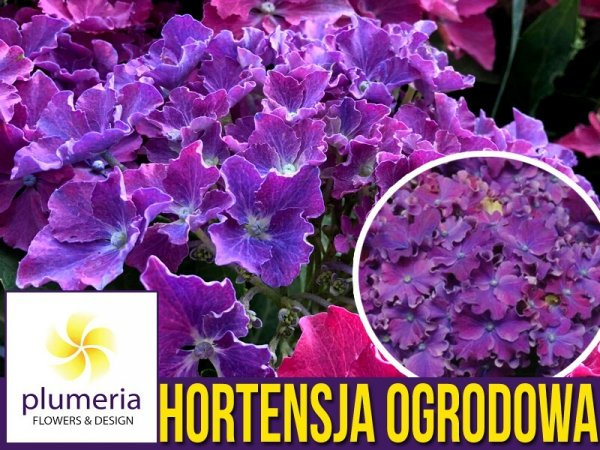 Hortensja ogrodowa CURLY SPARCLE PURPLE cena