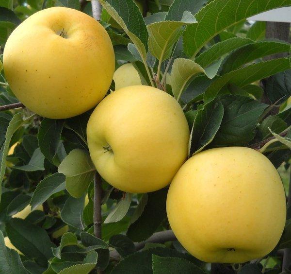Mini drzewka owocowe, Mini jabloń