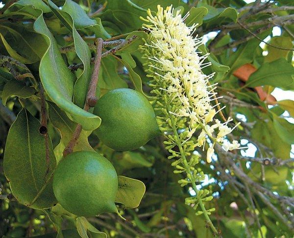 Orzech Makadamia (Macadamia)