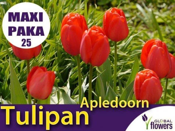 MAXI PAKA 25 szt Tulipan Darwina 'Apledoorn'