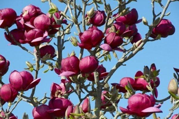 Najpiękniejsza magnolia, pielęgnacja