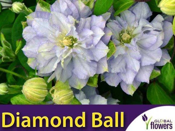 Clematis Powojnik 'Diamond Ball' PBR Sadzonka