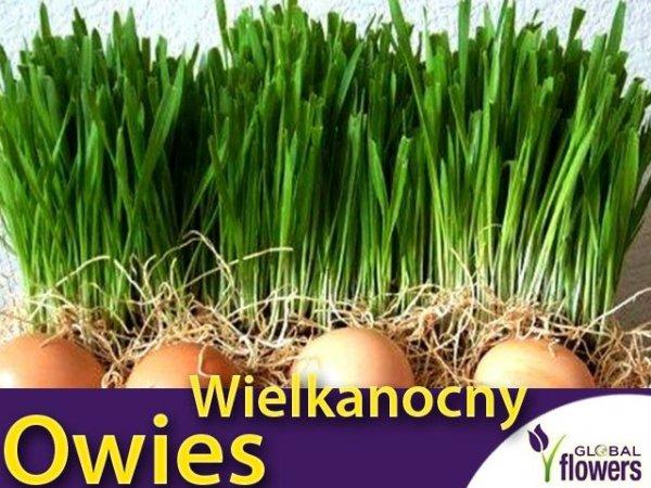 Owies  Wielkanocny - zielony (Avena sativa L.) 20g