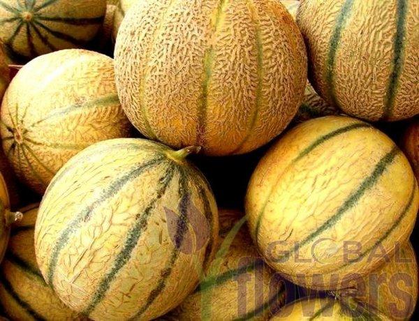 Melon Model (Cucumis melo)