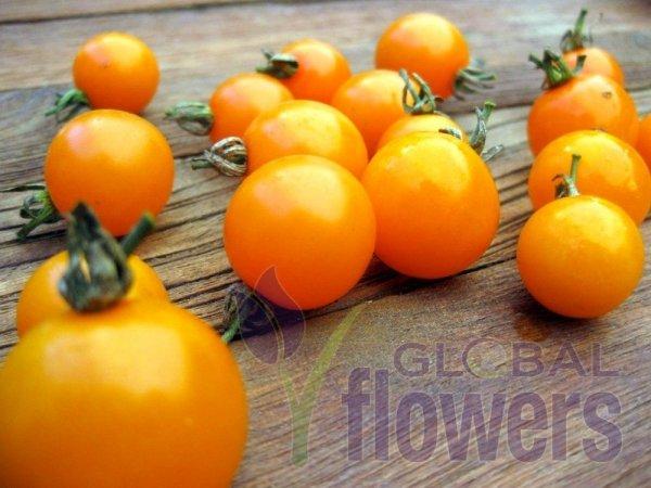 Pomidor gruntowy wysoki Figiel
