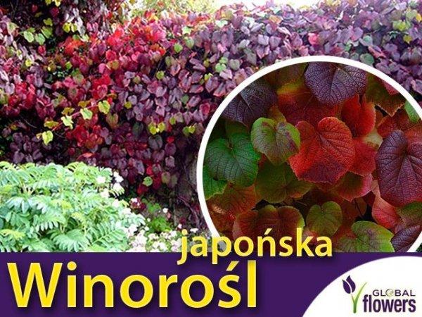 Winorośl japońska ozdobna sadzonka cena