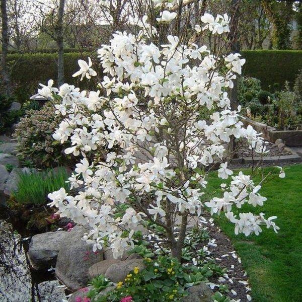 Magnolia Siebolda sprzedaż wysyłkowa sklep