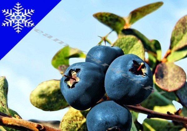 Wartości odżywcze owoców borówki amerykańskiej