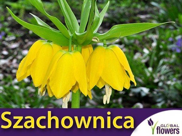 Szachownica cesarska 'Lutea' (Fritillaria imperialis)