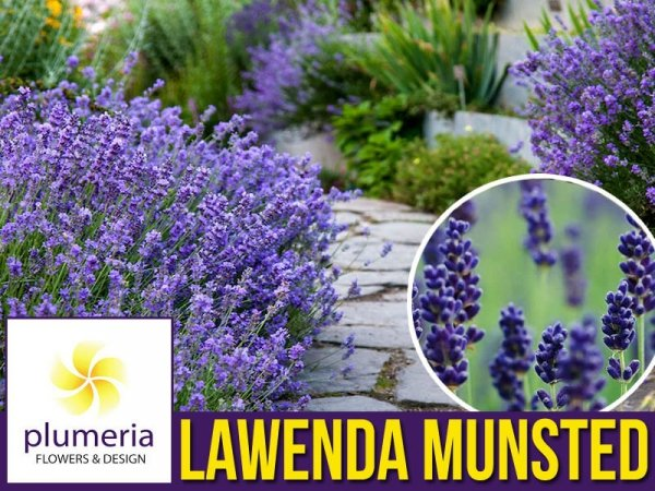 Lawenda wąskolistna Munstead Sadzonka (Lavandula angustifolia)