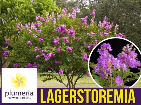 Lagerstroemia Petite Orchid (Lagerstroemia indica) Krzew który kwitnie 120 dni Sadzonka