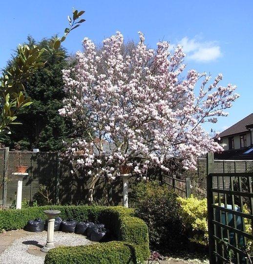 Magnolia 'Alba Superba' białe kwiaty