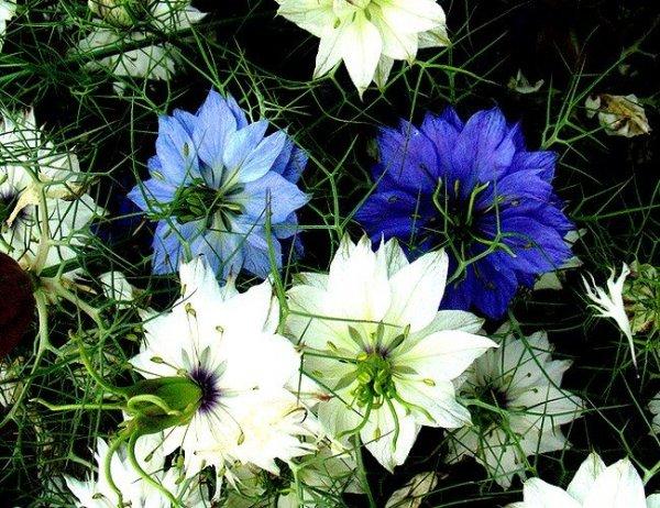 Czarnuszka ma ozdobne kwiaty ale także zdrowe nasiona