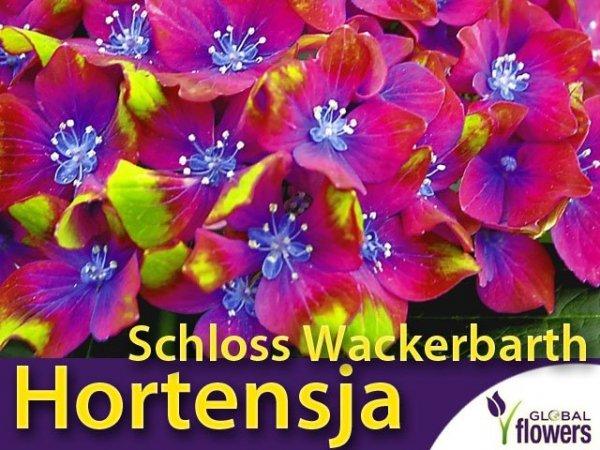 Hortensja ogrodowa 'Schloss Wackerbarth' sadzonka doniczka cena