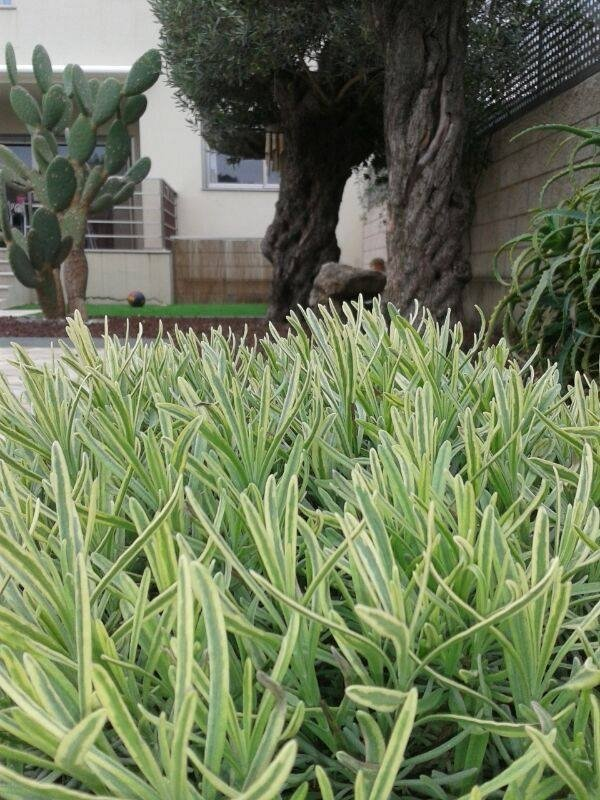 Lavandula angustifolia 'Momparler'
