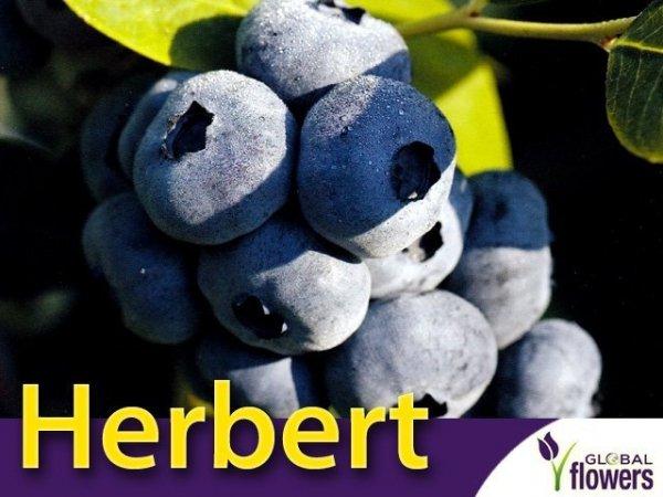 Borówka Amerykańska Sadzonka 3 letnia - odmiana Herbert