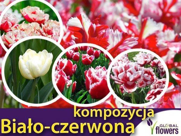 """Kolorowy ogród """"Harmonia barw"""" Kompozycja biało-czerwonych tulipanów CEBULKI"""