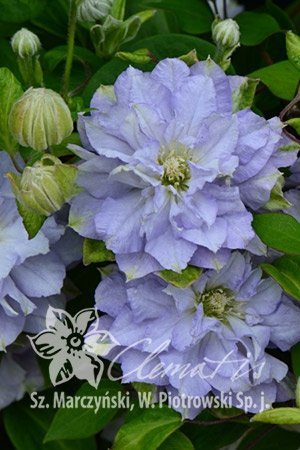 Clematis Powojnik 'Diamond Ball' uprawa