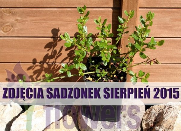 Prusznik Niebieski 'Victoria' uprawa