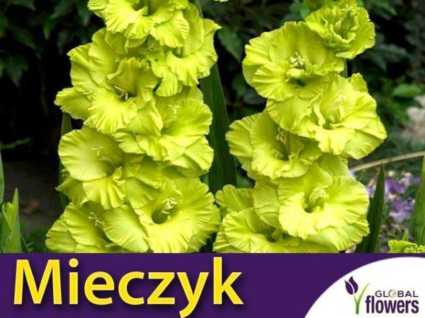 Mieczyk wielokwiatowy (Gladiolus) Green Star