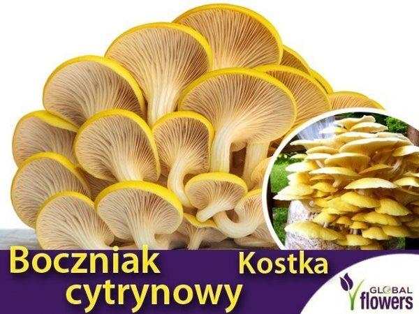 zdrowy boczniak cytrynowy do uprawy domowej