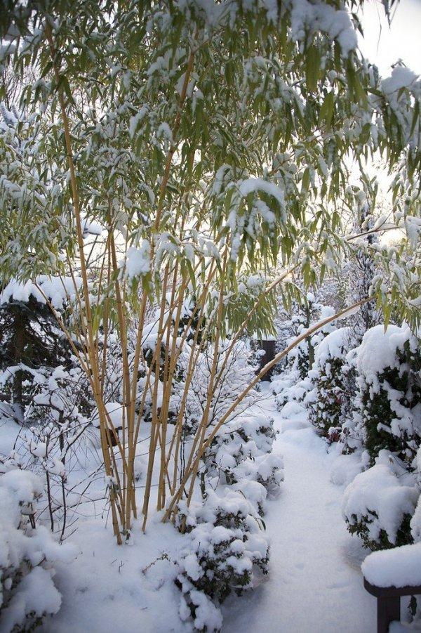 Sadzonki mrozoodpornych bambusów