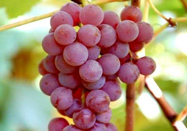 Przycinanie i pielęgnacja winorośli