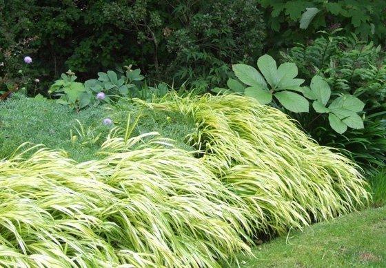 Bambusowa trawa sadzonka
